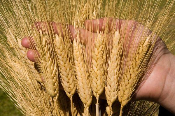 Ukraine giảm xuất khẩu lúa mỳ cứng sau kỷ lục năm 2018